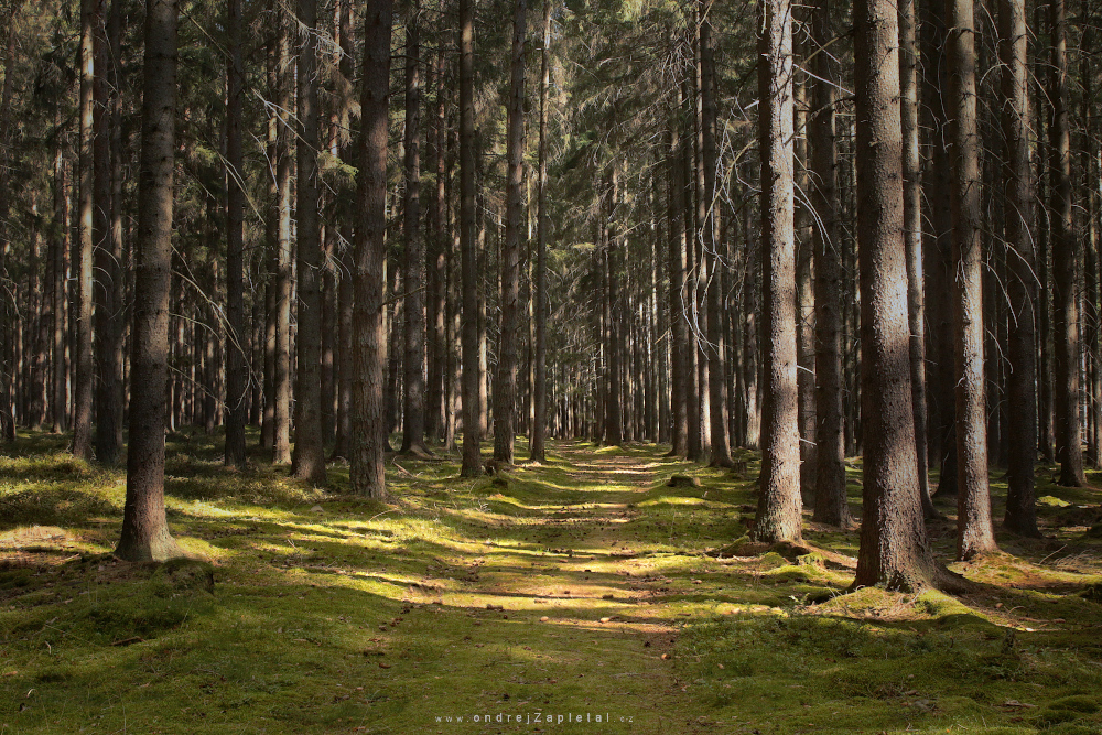 Fotografie Forest Path, na fotce: forest, path, trees, summer, nature, autor: Ondřej Zapletal